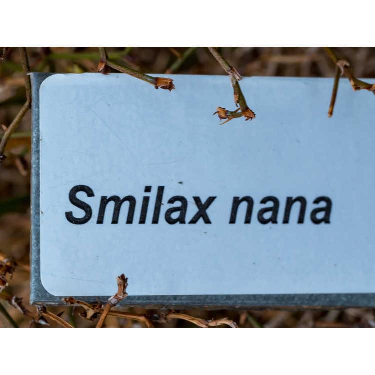 Smilax nana - super dwarf greenbrier