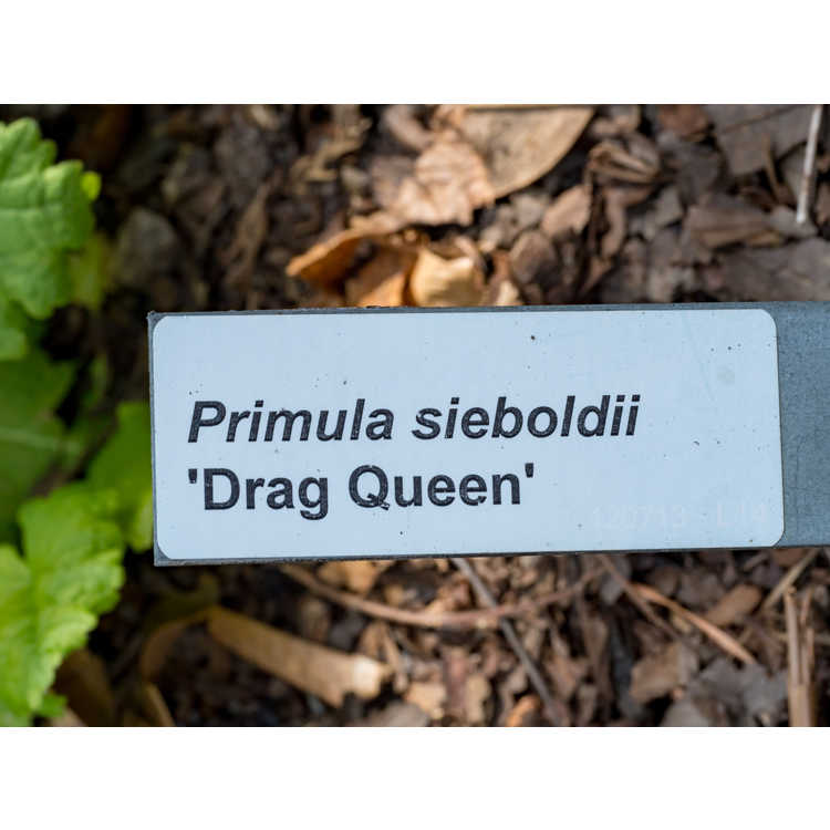 Primula sieboldii 'Drag Queen'
