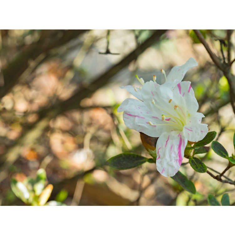 Rhododendron (Huang 1-3-16)