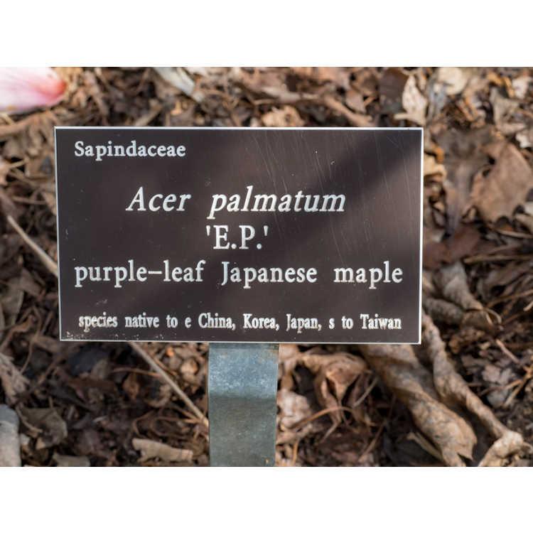 Acer palmatum 'E.P.' - purple-leaf Japanese maple