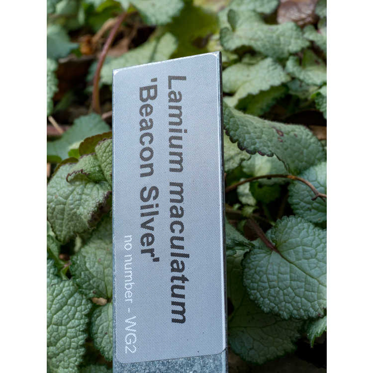 Lamium maculatum 'Beacon Silver' - deadnettle