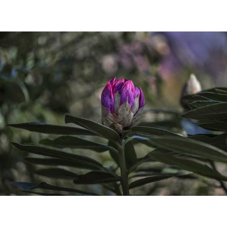 Hydrangea serrata Hakusen