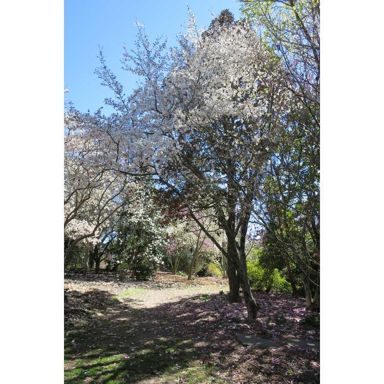 Magnolia salicifolia 'Miss Jack' - anise magnolia