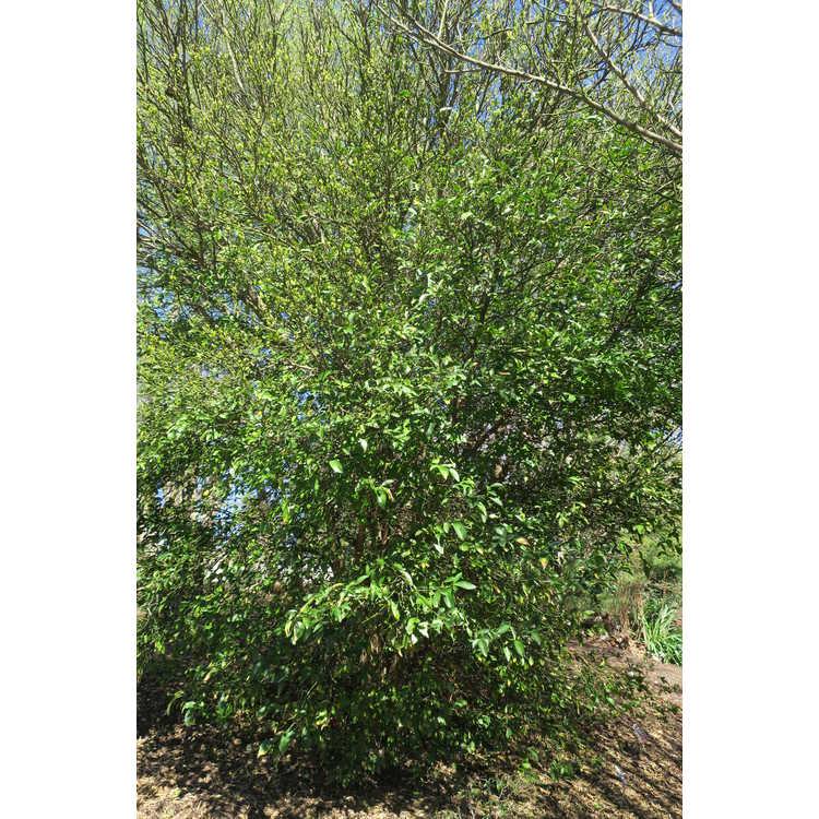 Poncirus trifoliata × Citrus auranticum
