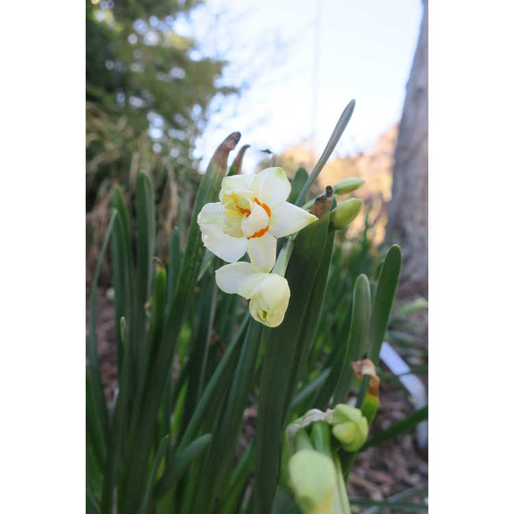 Narcissus 'Abba' - double daffodil