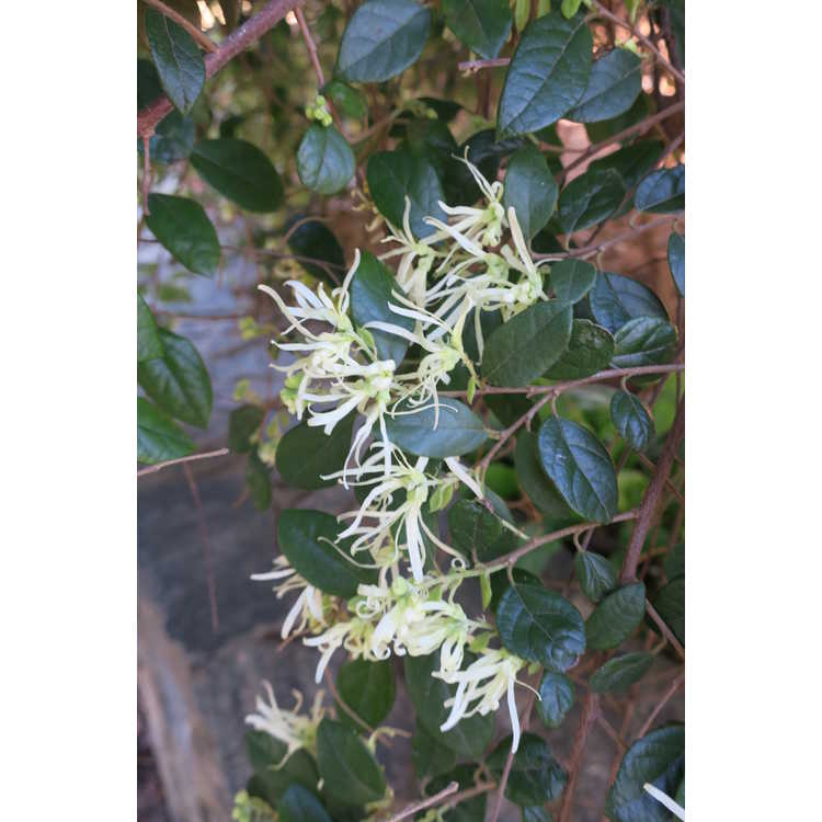 Loropetalum chinense 'Shidare' - weeping Chinese fringe-flower