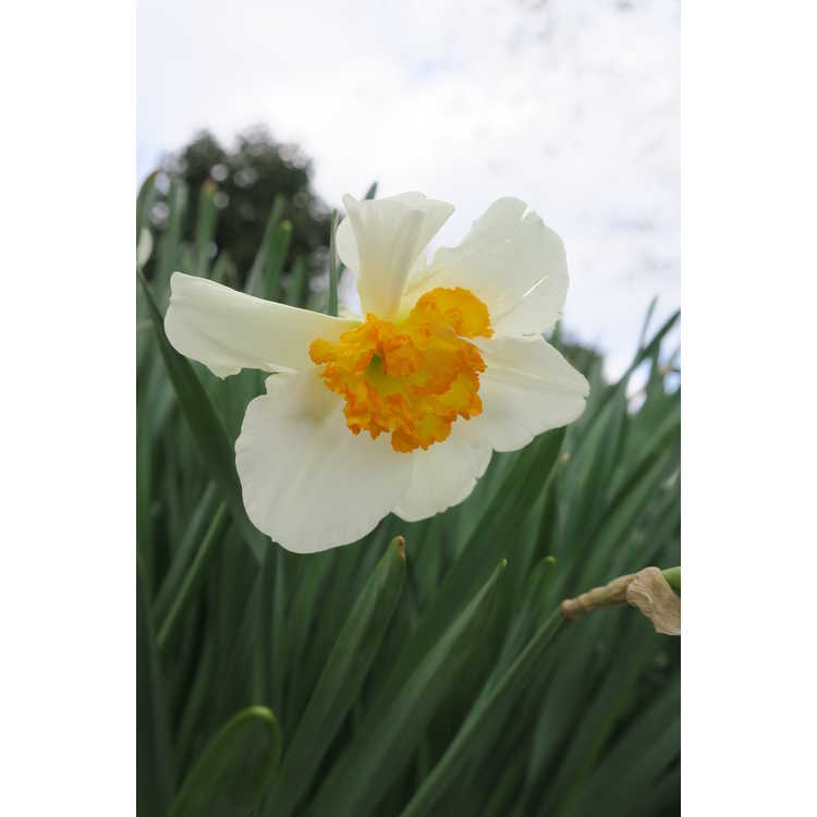 Narcissus 'Doctor Alex Fleming'
