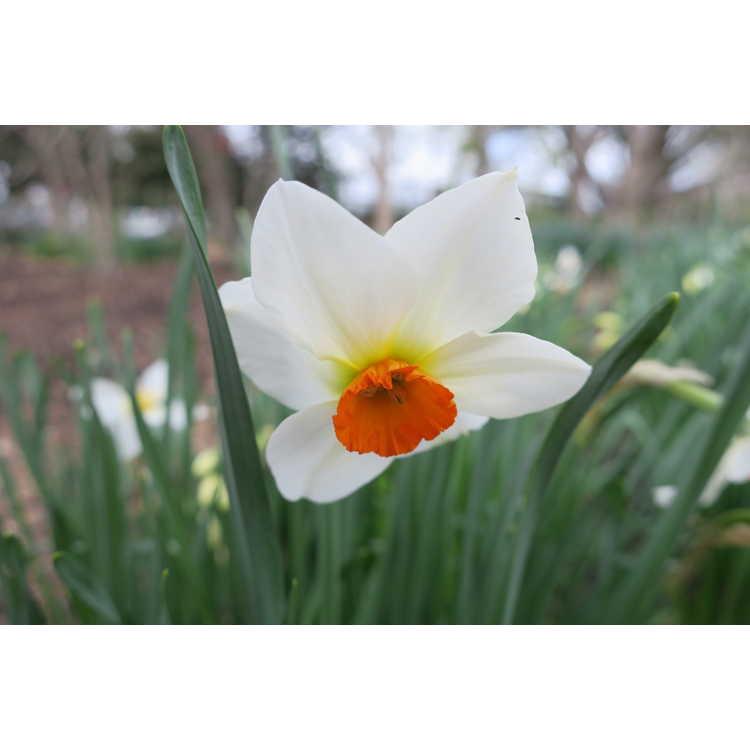 Narcissus Matapan