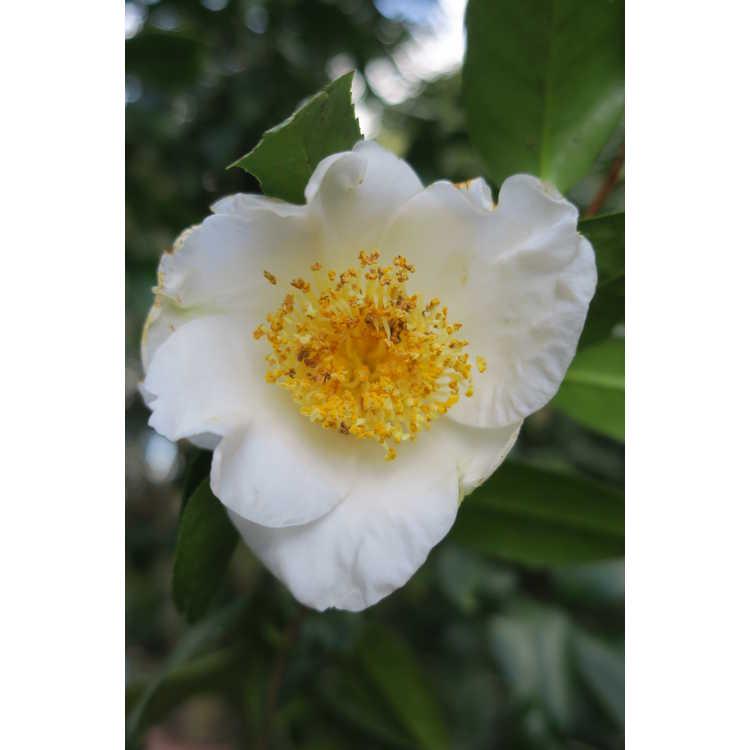 Camellia japonica 'White Mermaid' - fish-tail Japanese camellia