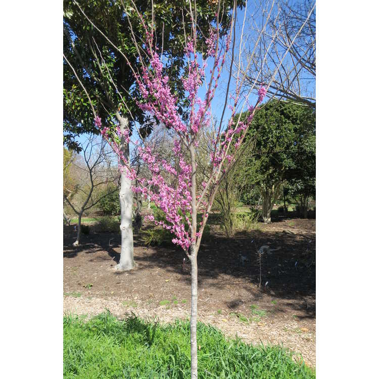 Cercis canadensis 'Jn7' - Summer's Tower upright redbud