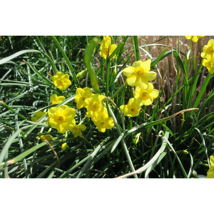 Narcissus 'Kokopelli'