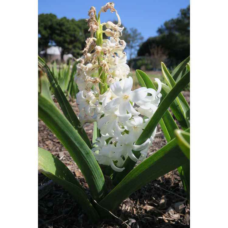 Hyacinthus orientalis Carnegie