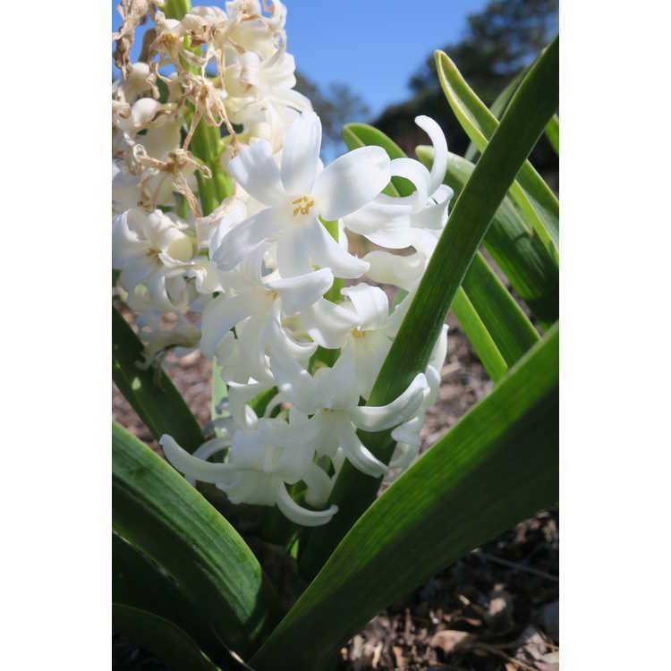 Hyacinthus orientalis 'Carnegie' - common hyacinth