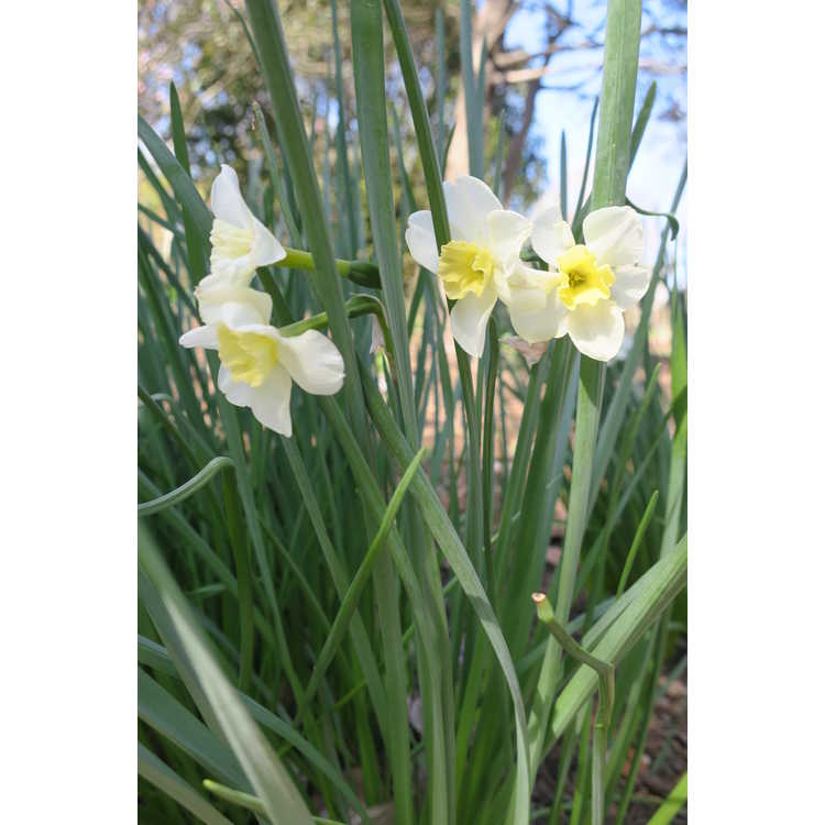 Narcissus 'Dolly Mollinger' - papillon daffodil