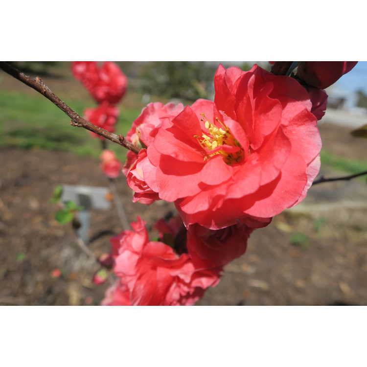 Chaenomeles 'Pink Storm' - hybrid flowering quince