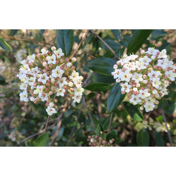 Viburnum utile (large leaf)