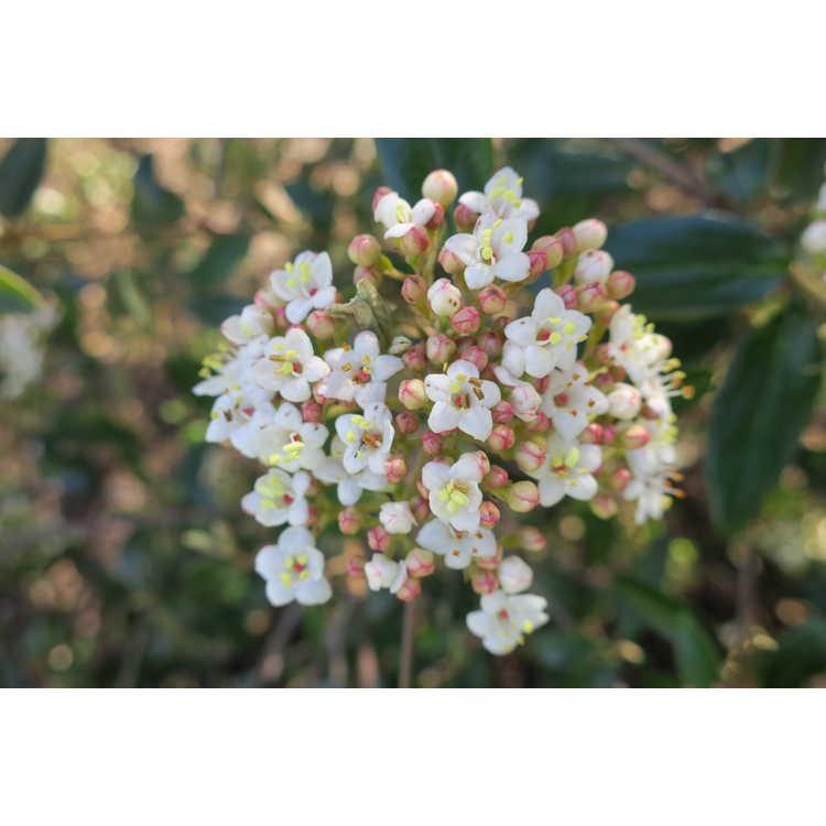 Viburnum utile large leaf