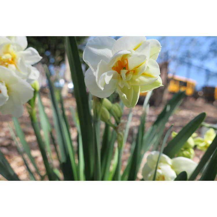 Narcissus White Butterfly