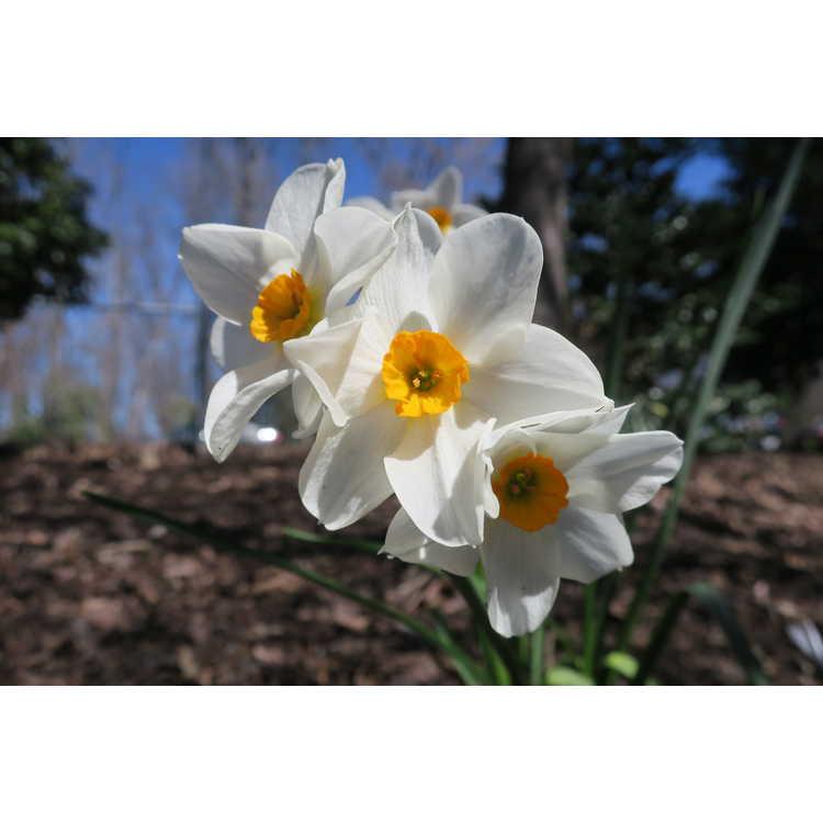 Narcissus Early Splendour