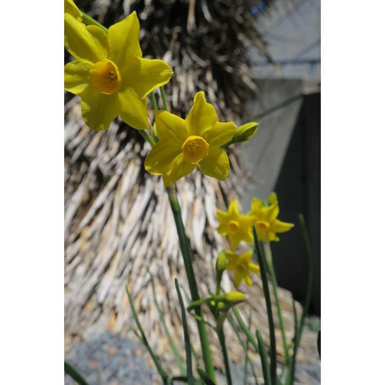 Narcissus Baby Boomer