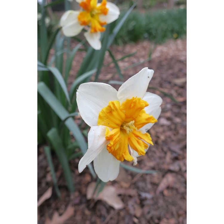Narcissus 'Parisienne' - collar daffodil