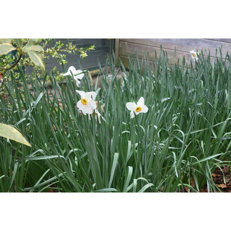 Narcissus 'Tullybeg' - small-cupped daffodil