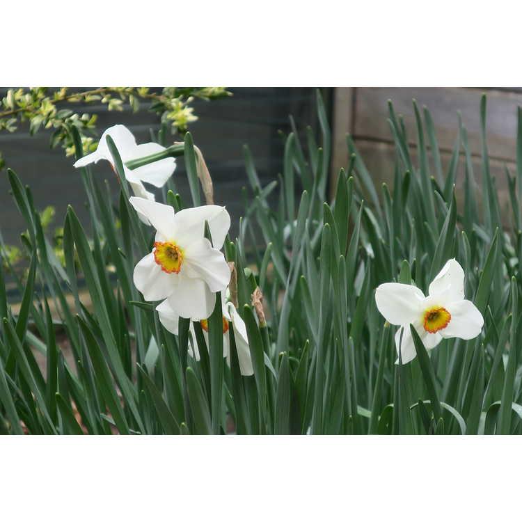 Narcissus Tullybeg
