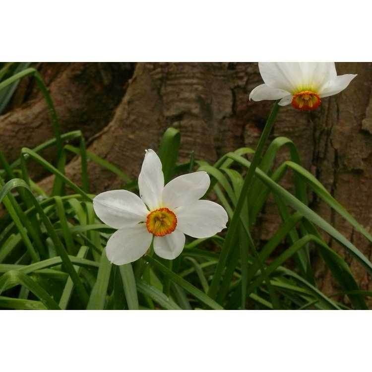 Narcissus 'Flower Record' - large-cupped daffodil