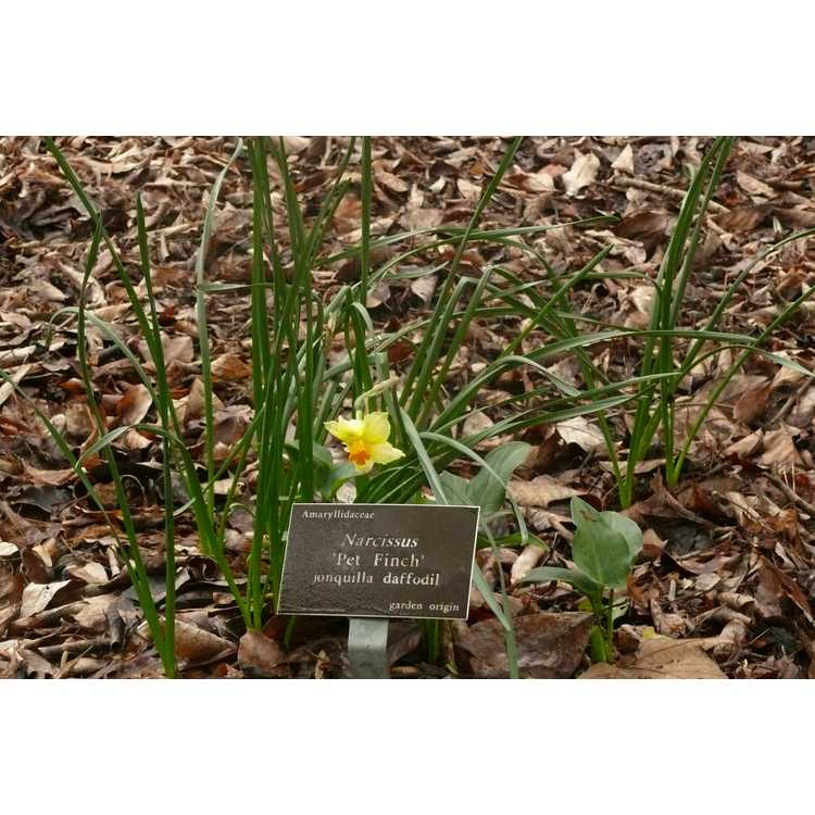 Narcissus 'Pet Finch'