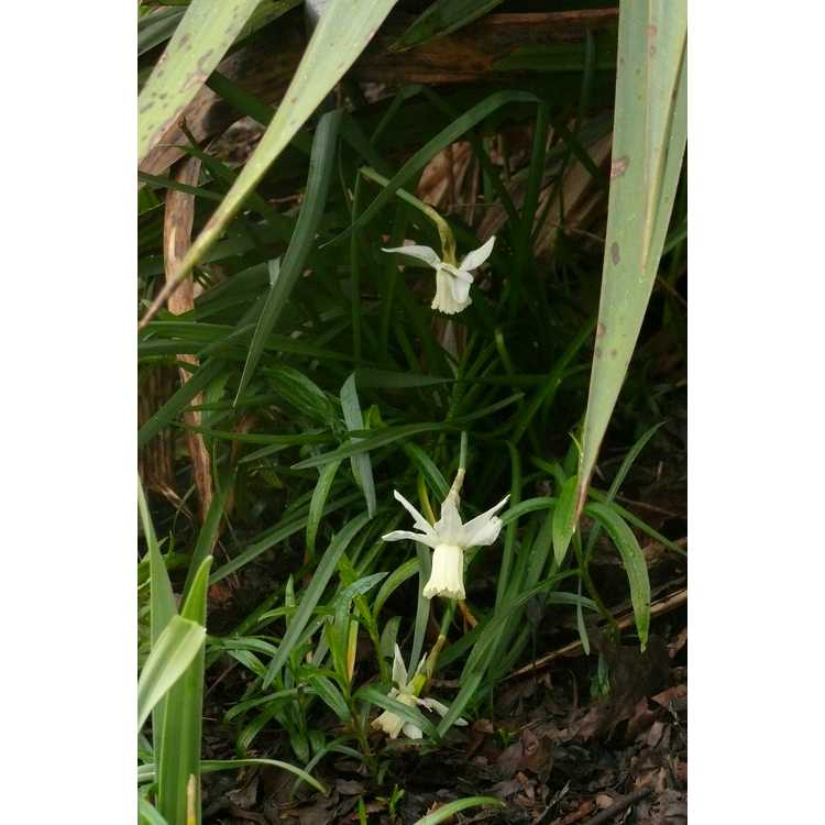 Narcissus 'Jenny' - cyclamineus daffodil