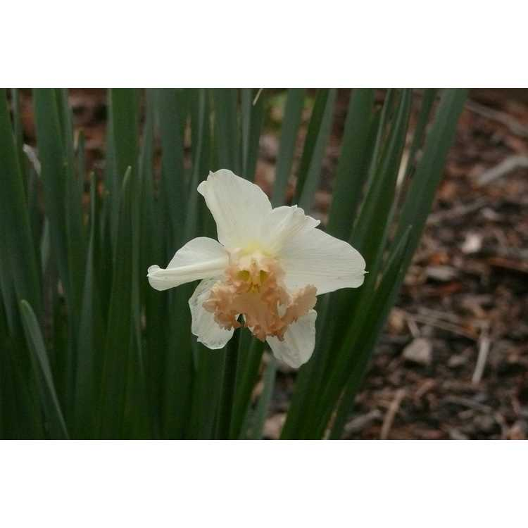 Narcissus 'Mon Cherie' - large-cupped daffodil