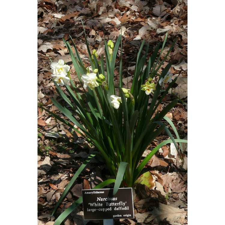 Narcissus 'White Butterfly' - large-cupped daffodil