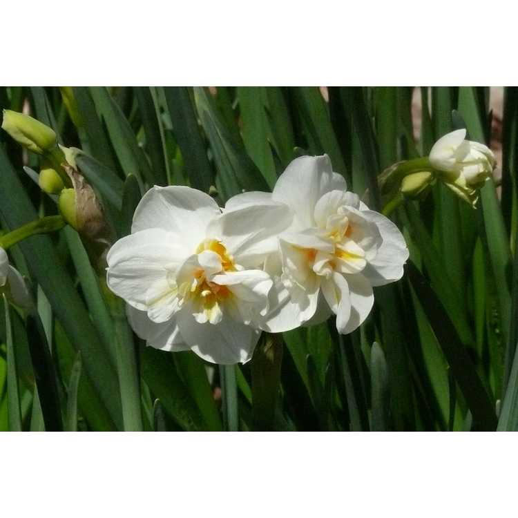 Narcissus 'White Butterfly'