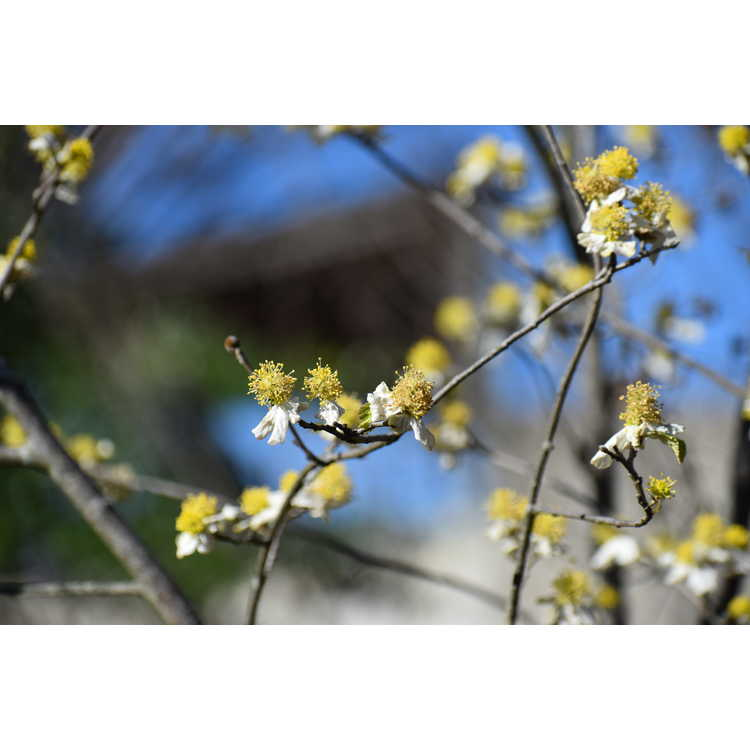 Parrotiopsis jacquemontiana - false ironwood