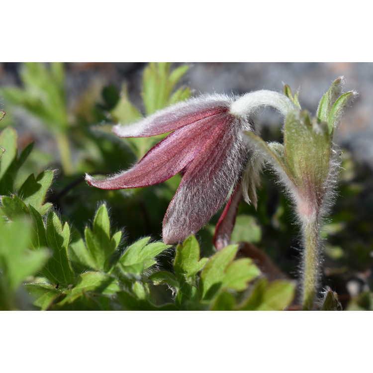 Pulsatilla cernua - pasque-flower