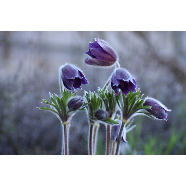 Pulsatilla patens - pasque flower