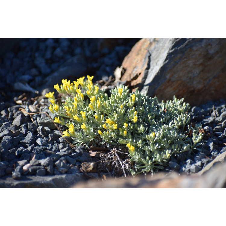 Physaria arizonica