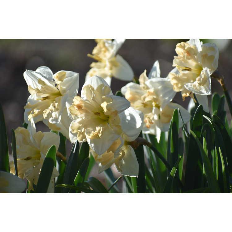 Narcissus 'Mary Gay Lirette' - collar daffodil