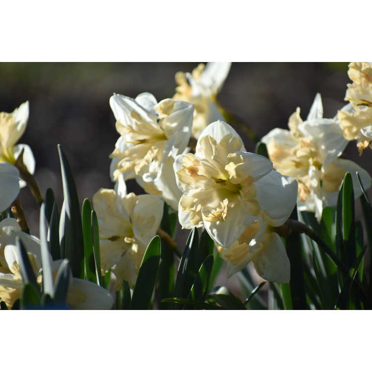 Narcissus 'Mary Gay Lirette'