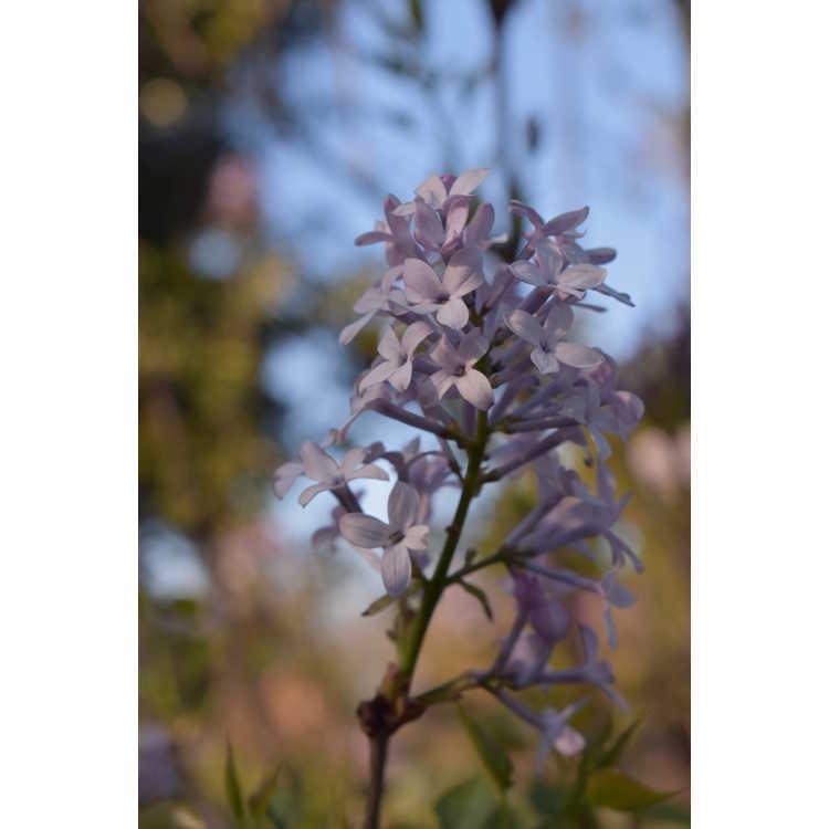 Syringa pubescens subsp. patula