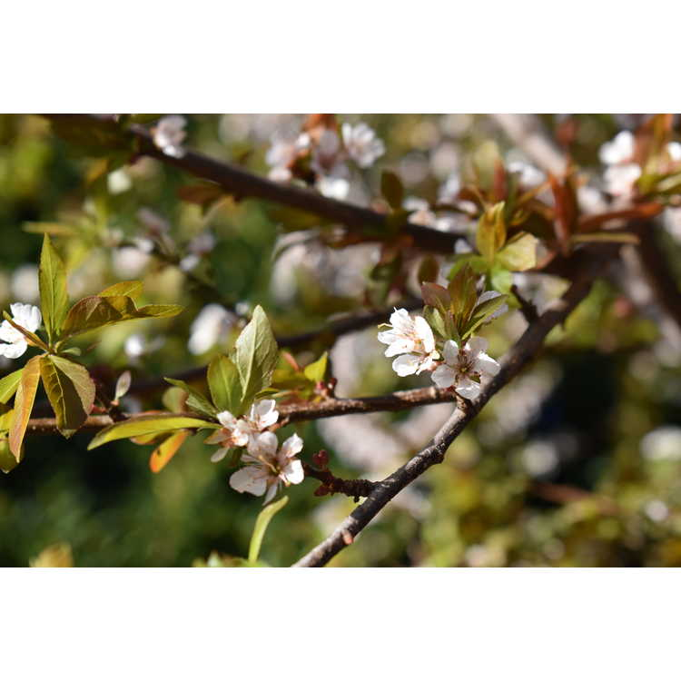 Prunus Purple Pride