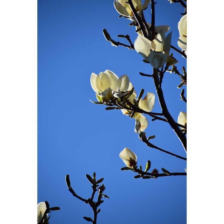 Magnolia 'Goldfinch' - hybrid magnolia