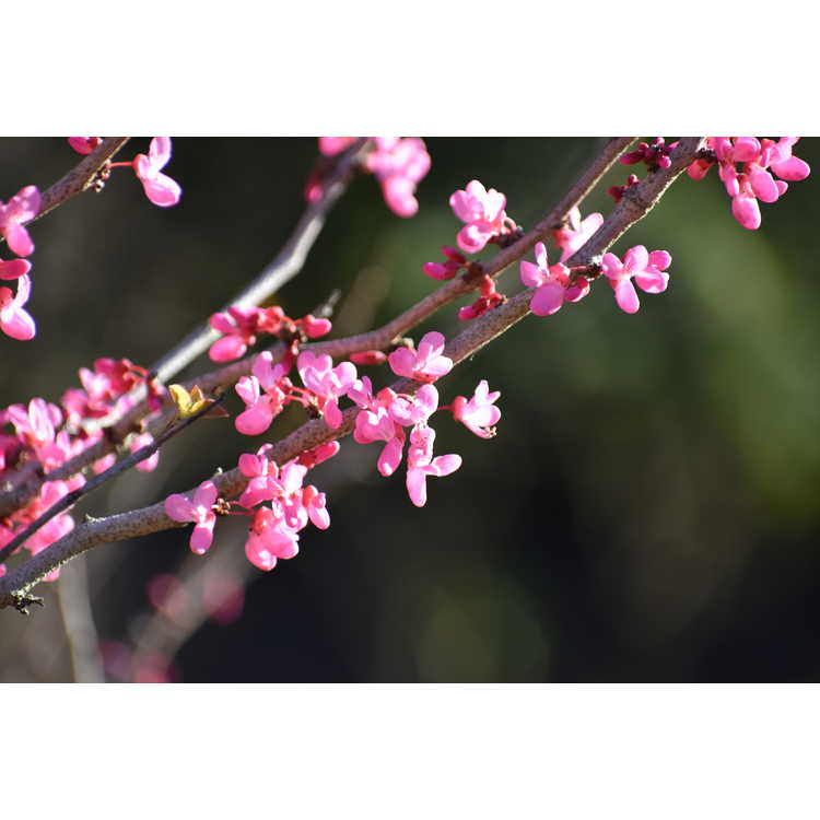 Cercis chinensis 'Shibamichi Red'