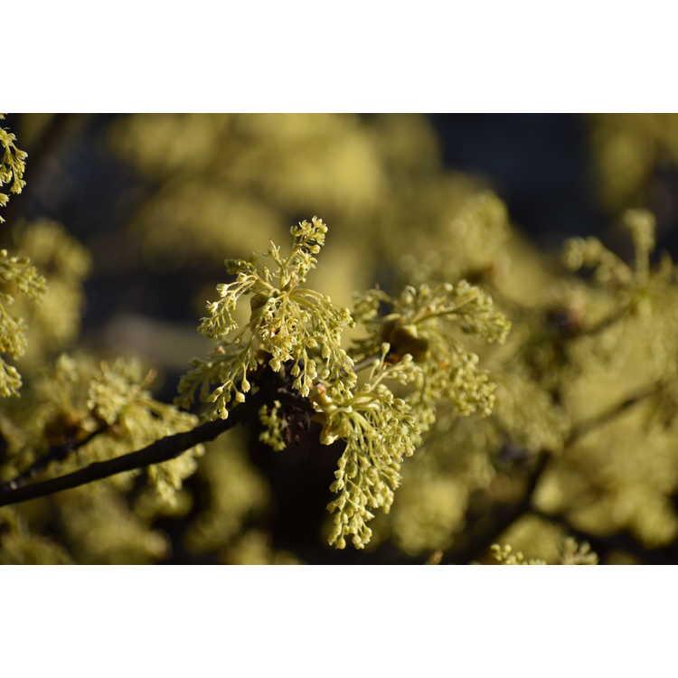 Scilla bifolia 'Rosea' - twin-leaf squill
