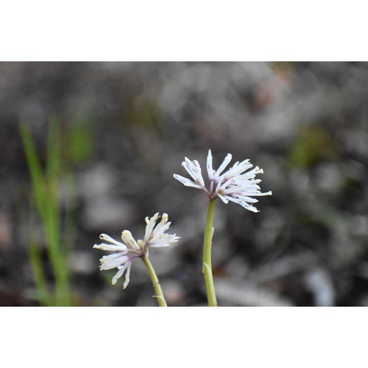 Heloniopsis orientalis 'Flash Dance'