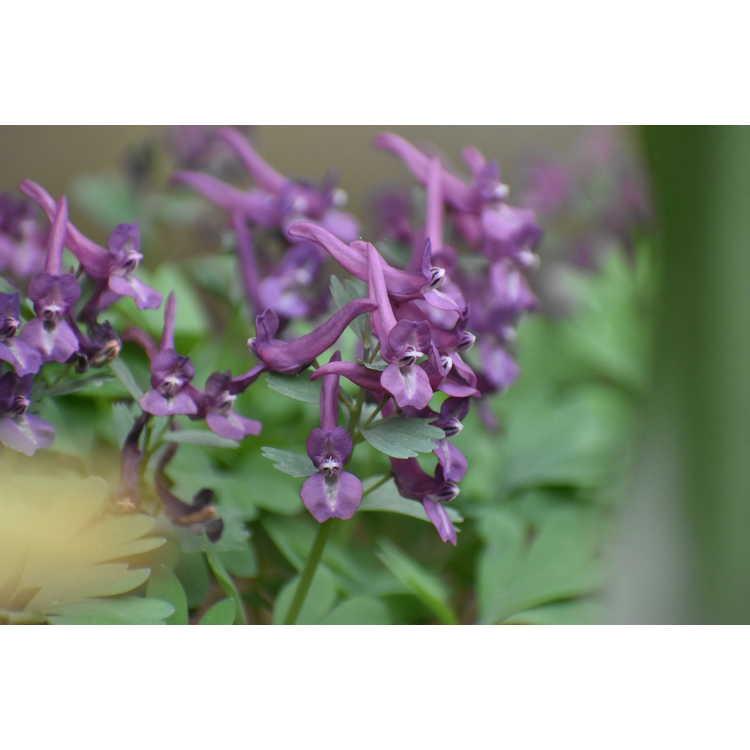 Corydalis solida Purple Bird