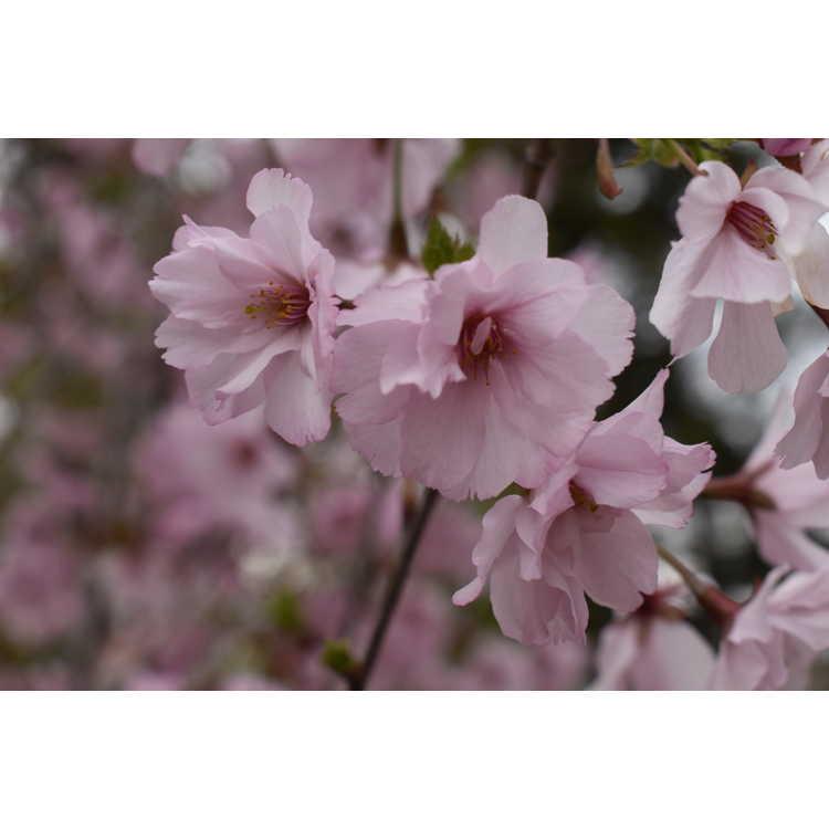 Prunus 'JFS-KW 14' - First Blush flowering cherry