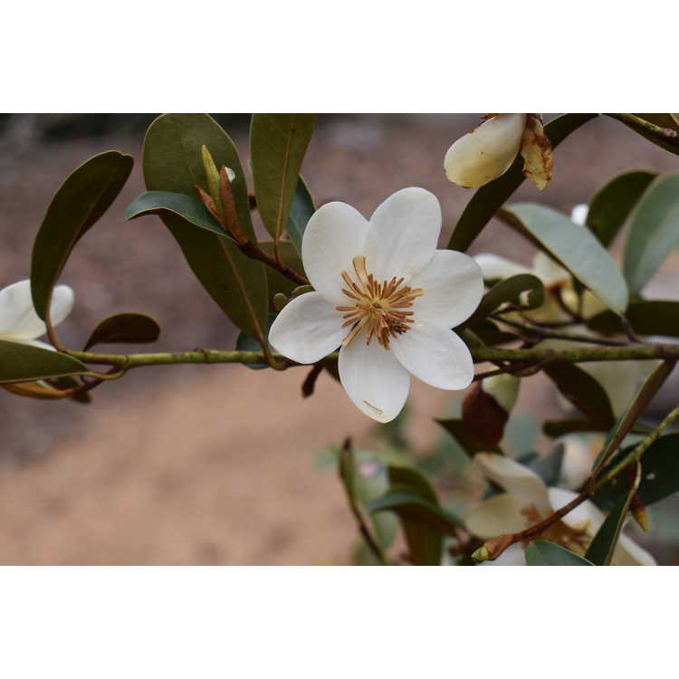 Magnolia laevifolia 'Snowbird' - shrubby michelia