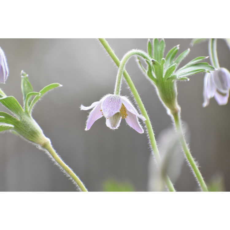 Pulsatilla dahurica - pasque flower