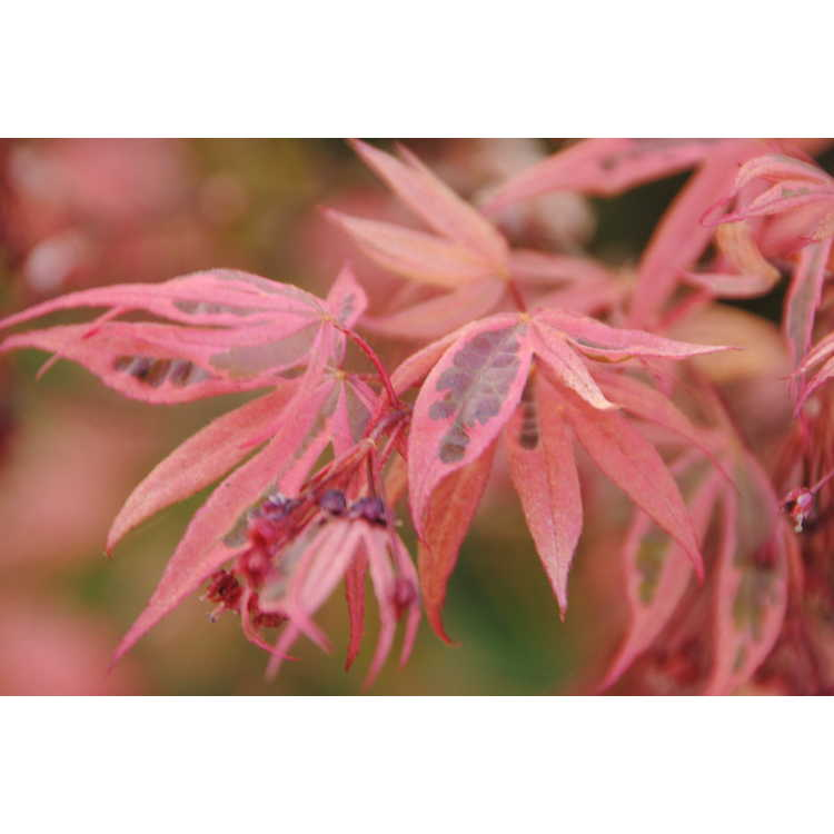 Acer palmatum Geisha Gone Wild